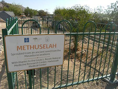 Methusela Tree